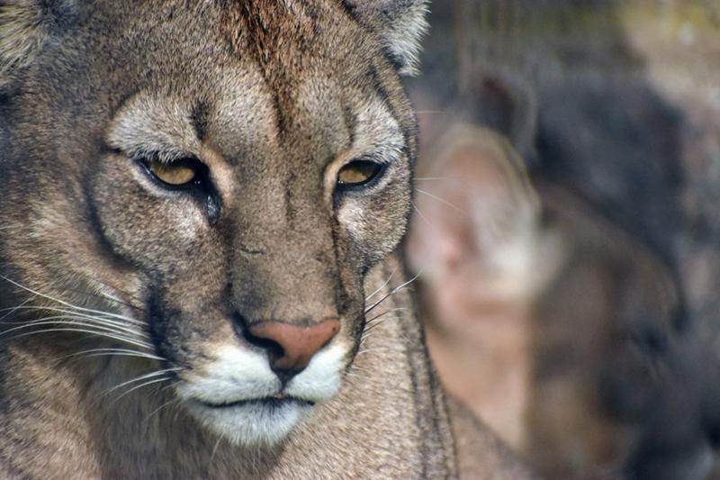 30 de agosto Día Internacional del Puma, fecha creada con el objetivo de reconocer la importancia del cuidado y conservación de este gran felino